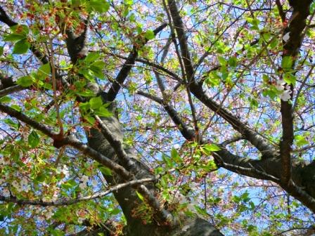 桜の木blog.JPG