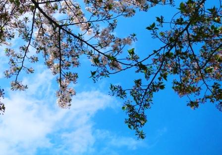 桜枝blog.JPG